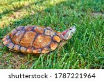 Red Eared Turtle On Green Gras...