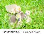 Little Ducks In The Farm ...