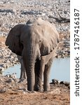 White Etosha Elephant Standing at Okaukuejo Waterhole, Namibia, a Single, Solitary, Lone, Rogue African Elephant in the Savanna