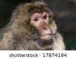 Portrait Of A Berber Monkey...