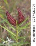 Seeding Antelope Milkweed Horn...