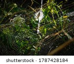A Tiger Spider In Its Web...