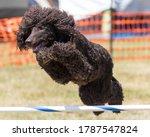 Irish Water Spaniel Dog Doing...