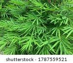 Verdant Bamboo Leaves In The Sun