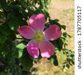 macro photo nature blooming dog ... | Shutterstock . vector #1787705117