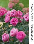 Small photo of Many beautiful rose La Nina. Pink rose flower on blurry pink roses background