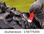 Black Swan  Cygnus Atratus