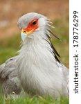 secretarybird  sagittarius... | Shutterstock . vector #178776299