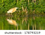 squacco heron fishing in danube ... | Shutterstock . vector #178793219