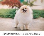 Beautiful Fluffy White Spitz...