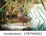 Standing Beautiful Brown Duck...