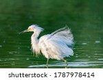 Snowy White Egret Ruffling...