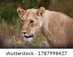 Female Lion In The Maasai Mara