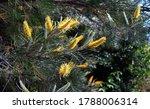 Yellow bottle brush flowers on an Australian silky-oak plant. Grevillea robusta.