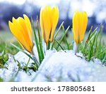 Постер, плакат: Blooming crocuses and snow