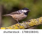 Coal Tit  Periparus Ater  On A...