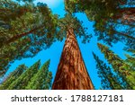 Sequoia Forest Of Sequoia And...
