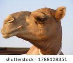 Small photo of profile of a dromedary camel head in Qatar