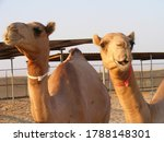 A Pair Of Dromedary Camels In...