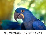 Closeup Hyacinth Macaw  ...