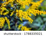 Small photo of Solidago canadensis, known as Canada goldenrod or Canadian goldenrod. Yellow blooming flowers in a meadow.