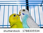 Lovely Budgies Kiss Each Other