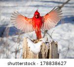 Male Northern Cardinal In...