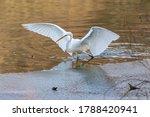 Great White Egret  Ardea Alba   ...