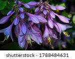 Flower Hosta With Purple...