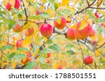 Red Apples On A Tree. Vibrant...
