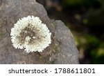 Gray White Lichen Grows On The...