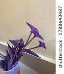 Purple Heart Or Tradescantia...