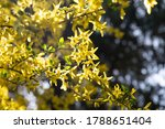Lian Qiao (fructus forsythiae) flower blossom