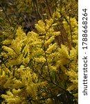 Australian Yellow Wattle In...