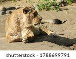 A Beautiful Wild Lioness Lies...