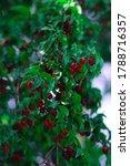 Cornus fruit. dogwood berries...