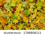 Red  Green And Yellow Leaves Of ...