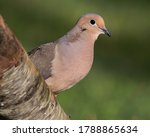 Mourning Dove Perched On A...