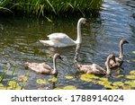 Swan Cubs Swim In The Lake....