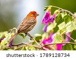 """A Male House Finch """" Haemorhous ..."""