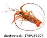 Spiny Lobster Isolated On White ...