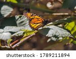 Monarch Butterfly Warming Up I...