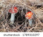 Two Red Capped Toad Stools Wit...