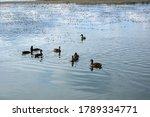 Several Ducks Swim In A Pond...