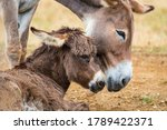 Baby Donkey With Mother Resting