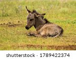 Baby Donkey Resting On Meadow