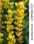 Yellow Wild Indigo  Baptisia...