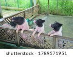 Three Pink And Black Pigs...