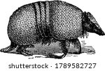 armadillo is an placental... | Shutterstock .eps vector #1789582727