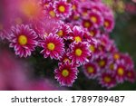 Purple Chrysanthemums On A...